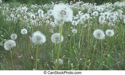 Field flowers dandelions - Camcorder moves near wildflowers...