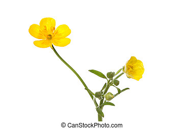 Buttercup - yellow buttercup, Ranunculus, flowers and buds...