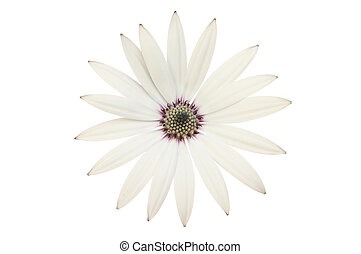 Osteospermum - White osteospermum flower isolated against...