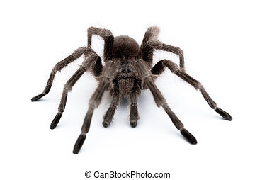 vogelspinne - spider on white table. macro view.