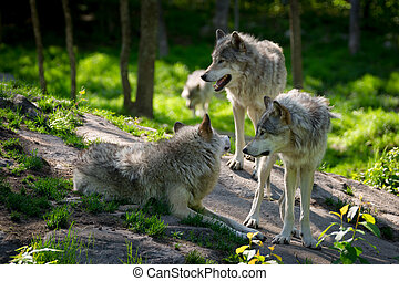 Wolf Pack of Three Wolves - A small wolf pack with three...