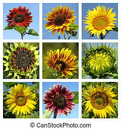 colorful sunflowers collage
