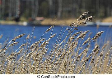 Golden reed texture against dark blue water background.