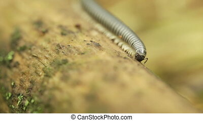 Millipede gnaws branch - Crawling on wet sand millipede