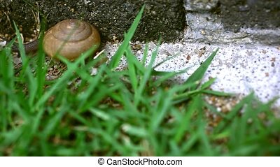 Crawler snail on the grass. Macro video 1920*1080