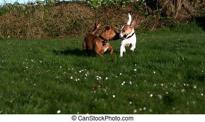 Two dogs fighting for a stick in the garden in slow motion