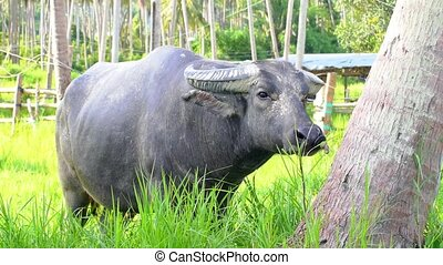 Big Buffalo Feeding in Sunny Palm Forest - Big Bull Buffalo...