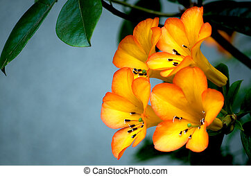 Beautiful rhododendron - Beautiful spring blooming...
