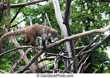 coati standing on tree branches