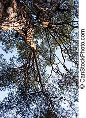 Siluetas, dos, árboles, pino