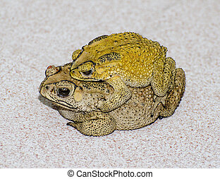 Toads  mating