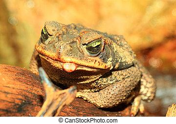 Rococo Toad (Bufo paracnemis)