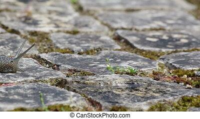 Comum Garden Snail crawling - Active garden snail crawling...