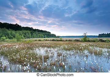 sunrise over swamp with cotton grass, Drenthe, Netherlands