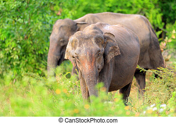 Asian elephant (Elephas maximus) in Udawalawe National Park,...