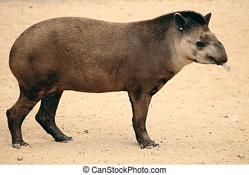 tapir - a rare and exotic mammal, a tapir