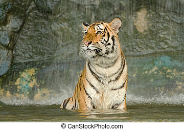 tiger in the pond