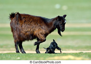 little new born baby goat on field