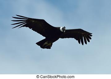 Andean Condor (Vultur gryphus) - Andean Condor in flight...