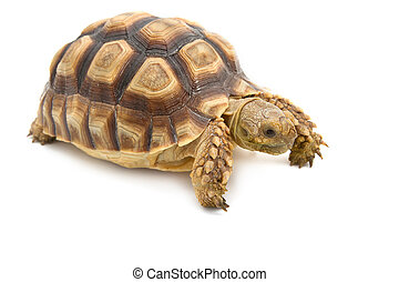Leopard Tortoise Geochelone pardalis isolated on white...
