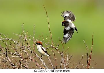 Woodchat shrike ( Lanius senator) outdoor - Woodchat shrike...
