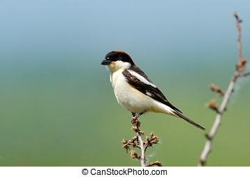 The woodchat shrike Lanius senator in natural habitat