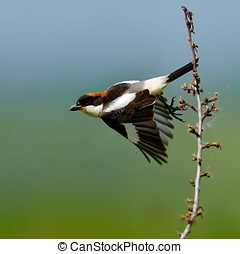 Woodchat shrike Lanius senator outdoor - Woodchat shrike...