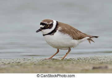little ringed plover (Charadrius dubius) in natural habitat