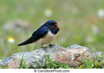 the barn swallow in natural habitat (hirundo rustica) - the...