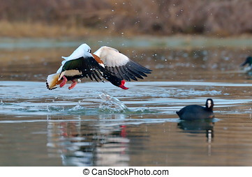 wild goose flying tadorna tadorna
