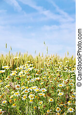 wild chamomile flowers and wheat field