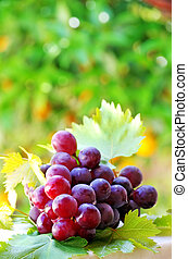 ripe grapes with green leaves