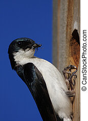 Tree Swallow With Insects