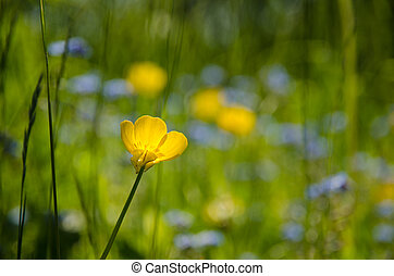 Focus at a buttercup flower in a summer meadow - Focus at a...