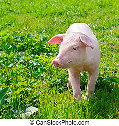 pig on a green grass - funny pig on a green grass