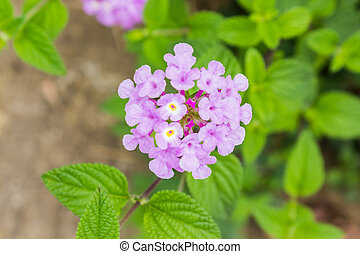 Purple flower of Lantana - Purple flower of Lantana,...