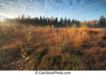 gold autumn morning on marsh - gold misty autumn morning on...