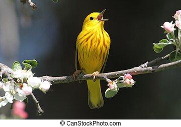 Yellow Warbler Dendroica petechia Singing - Yellow Warbler...