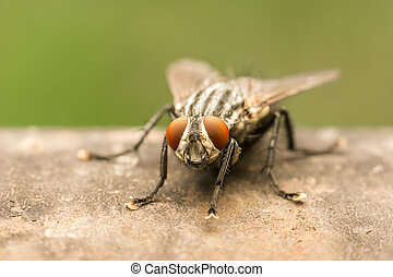 The Common Housefly (Musca Domestica) is one of the most...