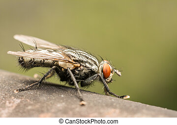 The Common Housefly Musca Domestica is one of the most...