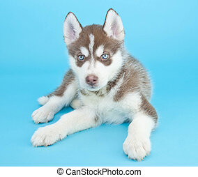 Husky Puppy - Sweet Husky puppy with blue eyes laying on a...