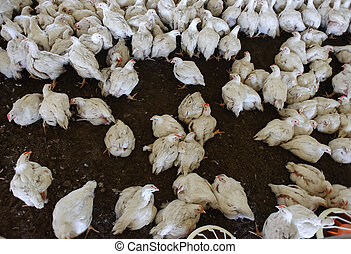 Poultry farm. - chickens of white color in the coop
