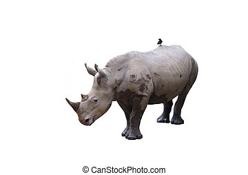 Two-horned white Rhino with bird - Two-horned black...