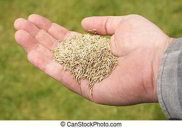 Grass Seed - Hand holding grass seed against a defocussed...