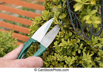 Topiary clipping - Trimming an ornamental shrub with topiary...