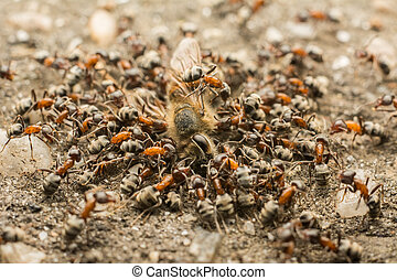 Ants Swarm Eating Dead Bee - Close Up Of Ants Swarm Eating...