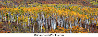 Aspen trees - Panoramic view of colorful Aspen trees at...