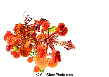 Pride of Barbados - Closeup Pride of Barbados, Isolated on...