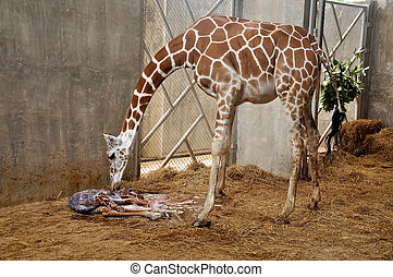 baby giraffe - Mother giraffes are urging their young after...