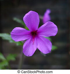 Madeira Cranesbill Flower - Close up of pink purple flower...